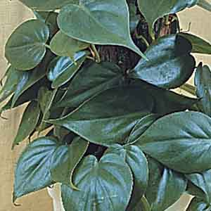 Heart Leaf Philodendron Totem