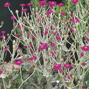 Rose Campion, Mullein Pink
