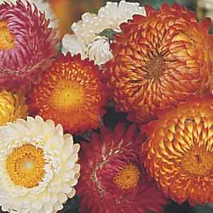 Strawflower. Golden Everlasting