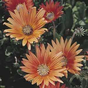 Arctotis, African Daisy