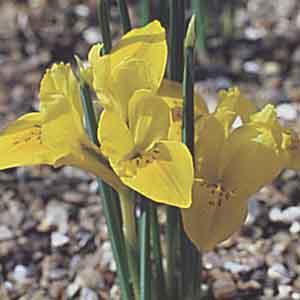 Dwarf Iris, Buttercup Iris