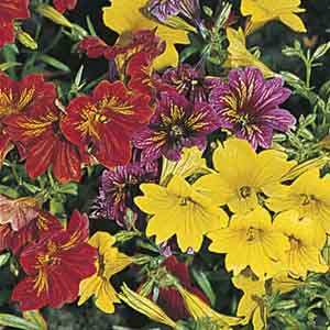 Salpiglossis, Painted Tongue