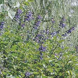 Anise-scented Sage, Hummingbird Sage