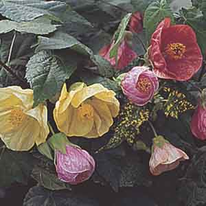 Flowering Maple, Indian Mallow, Parlor Maple