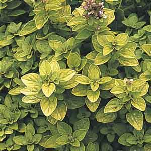 Golden Marjoram
