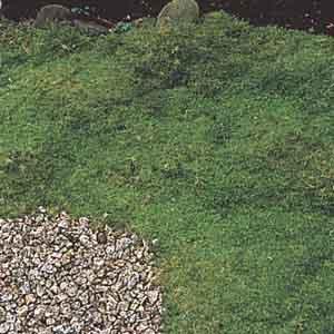 Irish Moss, Pearlwort