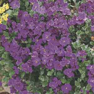 Aubrieta, Purple Rock Cress