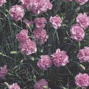 Hardy Carnation, Wild Carnation