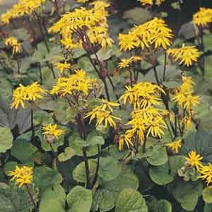 Bigleaf Ligularia, Summer Ragwort, Leopard Plant