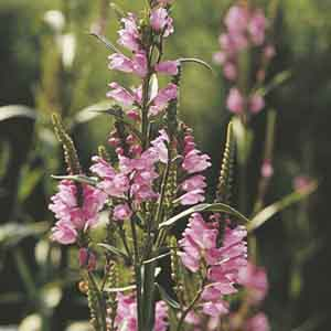 Obedient Plant, False Dragonhead