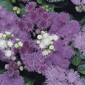 Ageratum, Floss Flower