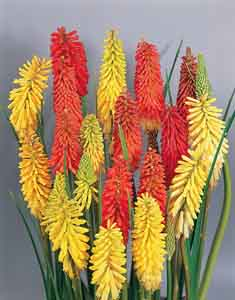 Torch Lily, Tritoma, Red Hot Poker