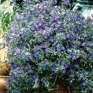 Anagallis, Blue Pimpernel
