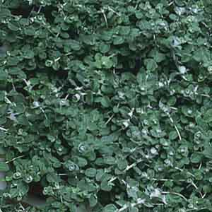 Little Leaf Licorice Plant