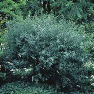 Arctic Willow, Purpleosier Willow