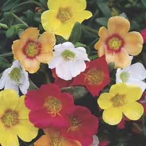 Garden Purslane