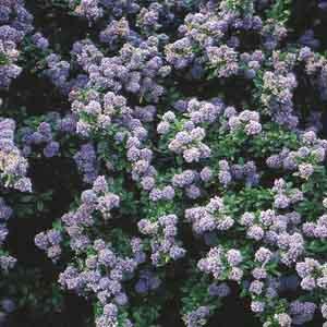 California Lilac Hybrids