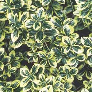 Dwarf Japanese Euonymus