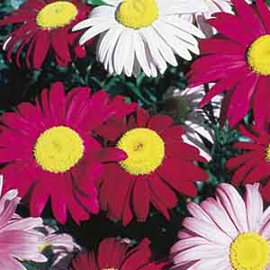 Painted Daisy, Pyrethrum