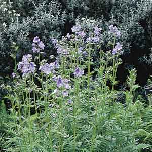 Jacob's Ladder, Greek valerian