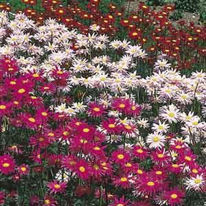 Painted Daisy, Pyrethrum