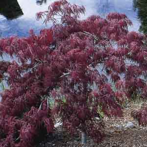 Weeping Laceleaf Japanese Maple