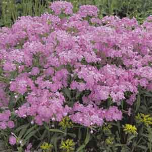 Wedding Phlox, Thick Leaf Phlox