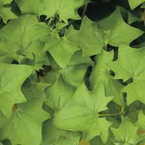 German Ivy, Cape Ivy