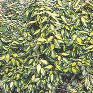 Silverthorn, Thorny elaeganus