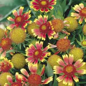 Blanket Flower, Indian Blanket