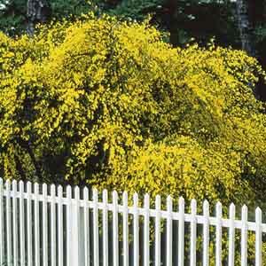 Flowering Broom, Scotch Broom
