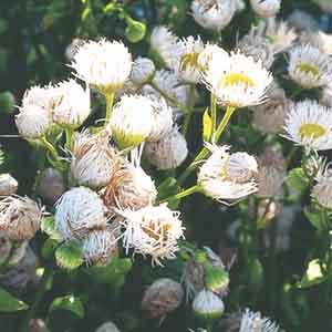 Bellium, Miniature Daisy