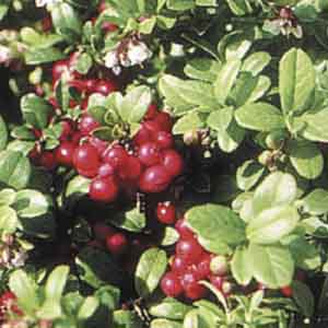 Foxberry, Lingonberry, Cowberry