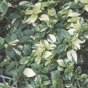 Variegated Peppermint
