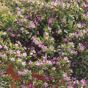 Creeping Mexican Heather