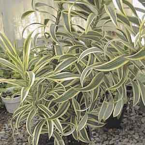 Song of India, Dragon Tree