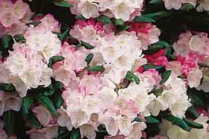 Yaku Rhododendron
