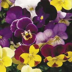 Viola Perennial