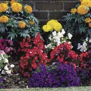 Annual Border Plant