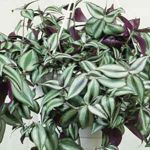 Purple Inch Plant, Wandering Jew Indoors