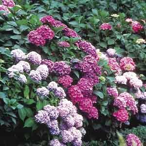 Hardy Hydrangea, Bigleaf Hydrangea (Hydrangea macrophylla)