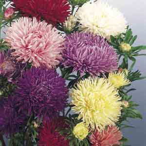 Aster, China Aster
