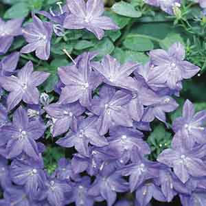 Annual Bellflower