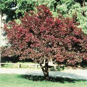 Prairie Prunus