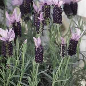 Spanish Lavender, Stoechas Lavender