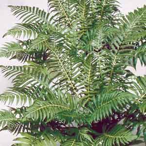 Southern Wood Fern (Dryopteris normalis)