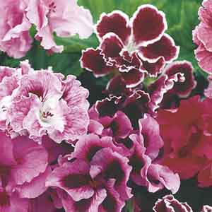 Regal Geranium, Martha Washington Geranium