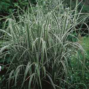 Variegated Giant Reed Grass
