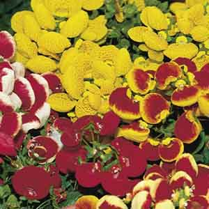 Calceolaria, Pouch Flower, Slipper Flower