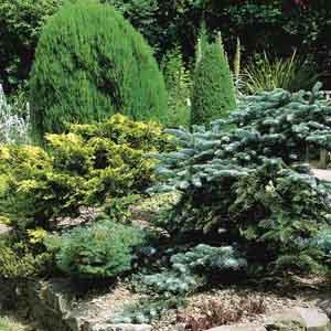 Assorted Evergreens